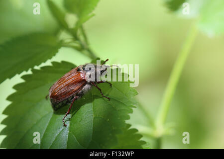 Common cockchafer (Melolontha melolontha) - Stock Image