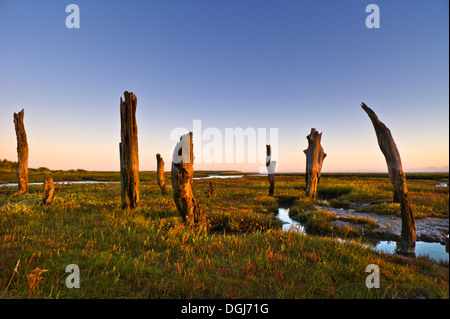 Thornham stumps on the North Norfolk coast at first light. - Stock Image