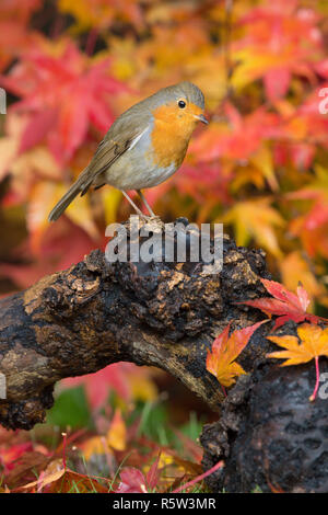 Robin, European Robin, Erithacus rubecula, standing on an old log with autumn leaves of Acer palmatum, Japanese maple, red and gold, Sussex, UK, Nov. - Stock Image