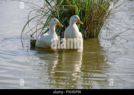 Something has caught the attention of two large white ducks in shallow water - Stock Image