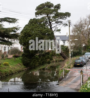 A Monterey Pine tree almost collapsed across the river Sid, at Sidmouth, Devon, UK - Stock Image