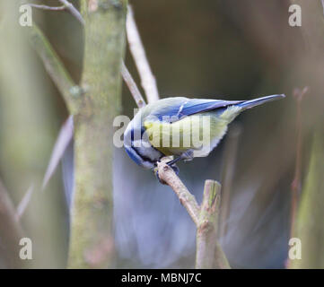 Eurasian blue tit on branch eating peanut - Stock Image