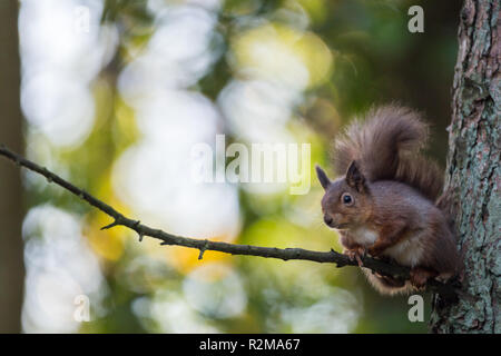 Red Squirrel  (Sciurus vulgaris) sitting on a high branch backlit - Stock Image