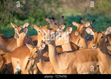 Herd of Impala staring randomly in many directions, with focus on central one looking towards audience - Stock Image