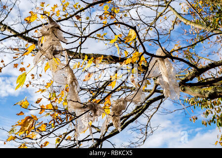 Plastic rubbish. Waste plastic sheeting hanging from the branches of a tree, Nottingham, England, UK - Stock Image