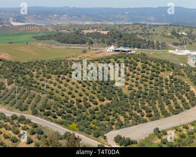 Olive grove near Almodovar del Rio, Cordoba Province, Spain. - Stock Image