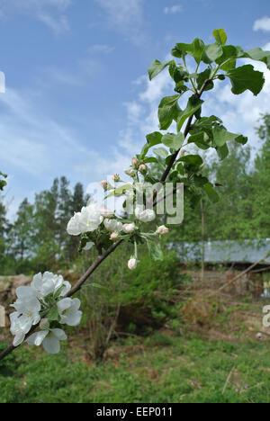 Blooming apple tree - Stock Image