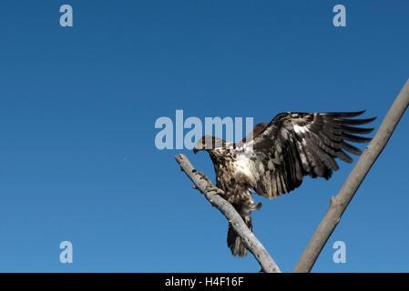 Juvenile bald eagle on a tree, Anchorage, Alaska - Stock Image