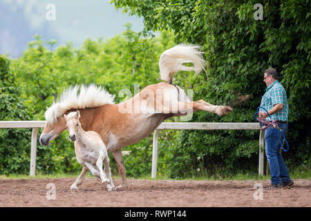 Haflinger Horse. Mare defending foal against possible enemy (harmless person bringing halter and rope). South Tyrol, Italy - Stock Image