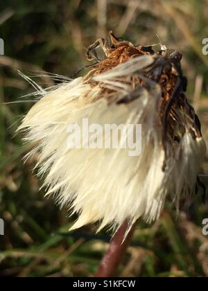 Flower gone to seed - Stock Image
