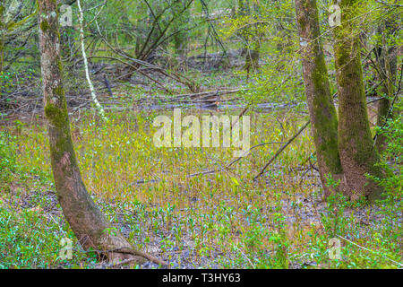 Spring Growth in Flooded Wetlands - Stock Image