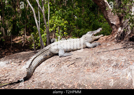 View of a  large Crocodile  at Hartley's Crocodile Adventures, Captain Cook Highway, Wangetti, Queensland, Australia. - Stock Image