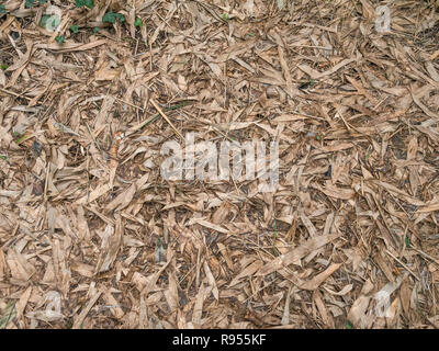 Dead bamboo leaf litter in a bamboo thicket (species uncertain, might be a Fargesia sp.) growing in Cornwall, UK. - Stock Image