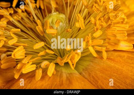 Icelandic Yellow Poppy - Stock Image