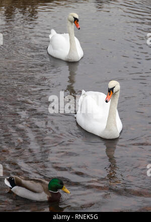 Close up view of beautiful pair of white swans (Cygnus cygnus) swimming towards and looking at camera - Stock Image