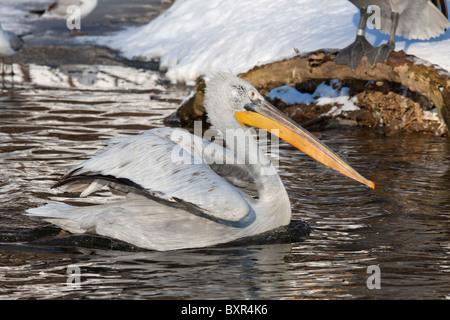 Great White Pelican, (Pelecanus onocrotalus) - Stock Image