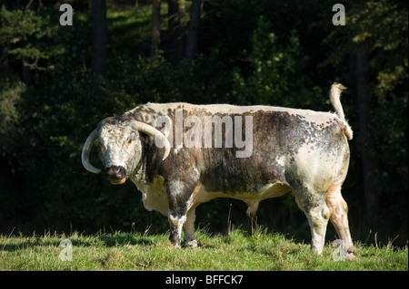 photograph of longhorn bull in profile - Stock Image
