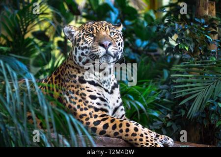 An adult jaguar (Panthera onca) relaxing among jungle vegetation. - Stock Image