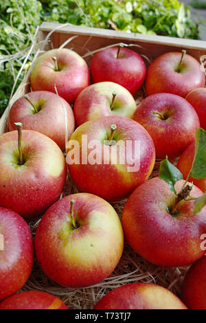Harvesting apples in garden, autumn harvest season in fruit orchards, close up, wooden box with red ripe bio apples - Stock Image