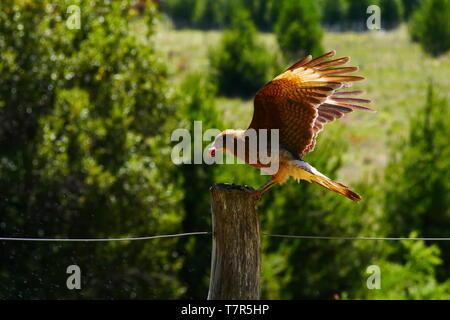 The chimango (Phalcoboenus chimango), also called tiuque, chiuque or caracara chimango, is a species of falconiform bird of the Falconidae family - Stock Image