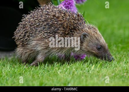 Hedgehog, (Scientific name: Erinaceus Europaeus) wild, native, European hedgehog in natural garden habitat with  flowering purple chives.  Close up. - Stock Image