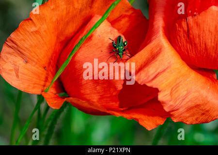 Thick legged flower beetle (Oedemera nobilis) also known as the false oil beetle or swollen thighed beetle, on the petals of a poppy flower - Stock Image