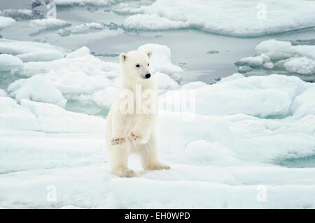 Cute Polar Bear Cub, Ursus maritimus, standing up and seeming to dance on the Olgastretet Pack Ice, Svalbard Archipelago, - Stock Image