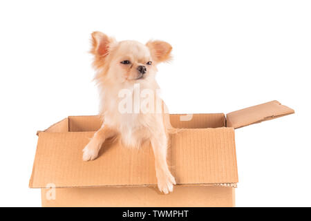 White Chihuahua dog with funny wary or skeptical face sitting in the box isolated - Stock Image