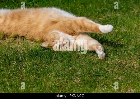 Domestic ginger tom cat stretching and relaxing on the lawn grass in summer - Stock Image