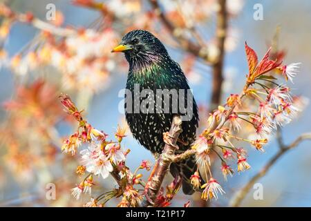 Hailsham, UK. 30th Mar, 2019. UK weather. A Starling (Sturnus vulgaris) on this mornings bright start to the day in Hailsham, East Sussex, UK. Credit: Ed Brown/Alamy Live News - Stock Image