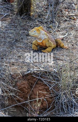 Land iguana (Conolophus subcristatus), Galapagos Islands, Ecuador - Stock Image