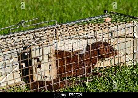 American mink with brown fur is a semiaquatic predator of fish caught in a humane release trap in Toronto - Stock Image