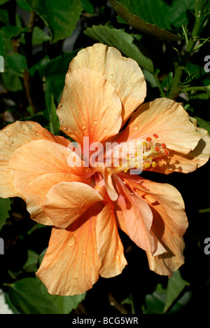 Peach colored double Hibiscus - Stock Image