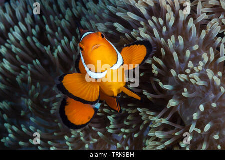 Clown Anemonefish, Amphiprion percula, Lissenung, New Ireland, Papua New Guinea - Stock Image