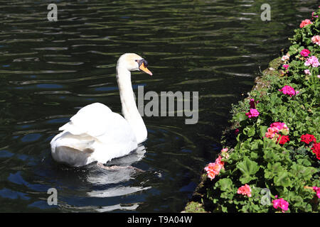 Beautiful white swam swimming in a small bond in a park located in Funchal, Madeira. Photographed during a sunny spring day. Cute and lovely photo! - Stock Image