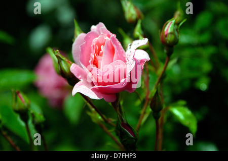 Flowers, sheets, rose, roses, Rose - Stock Image
