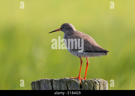 Common Redshank Tringa Totanus on Post - Stock Image
