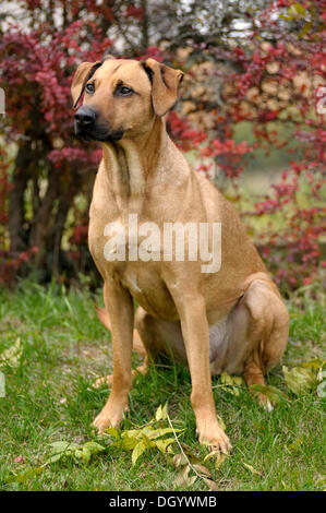 Mixed-breed Rhodesian Ridgeback sitting in front of a hedge - Stock Image
