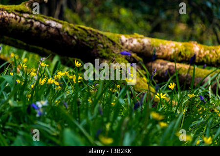 Ardara, County Donegal, Ireland. 8th April 2019. Warm spring weather over the past few days has helped wild flowers to bloom on a forest floor creating a blanket of colour. Credit: Richard Wayman/Alamy Live News - Stock Image