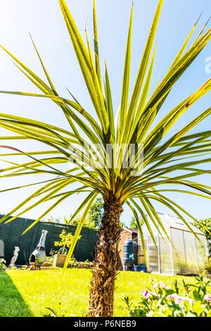 Cordyline, Cordyline plant, Cordyline leaves, Asparagaceae, Asparagales, woody monocotyledonous flowering plant, Cordylines, plants, plant, leaves, - Stock Image