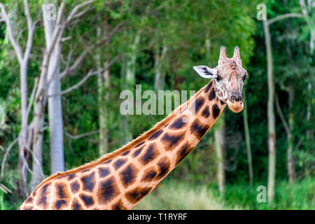 A close up of an African Rothschild's giraffe demonstrating the beautiful long neck and distinctive pelt. - Stock Image
