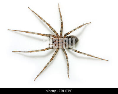 A female Funnel weaver (Malthonica pagana) on white background.  Funnel weavers are part of the family Agelenidae. - Stock Image