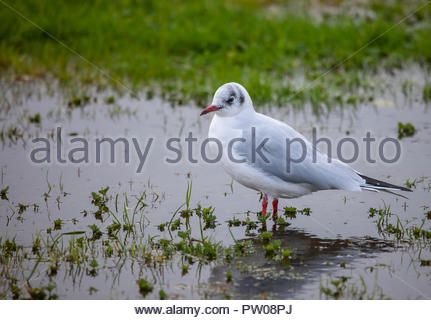 Black-headed Gull, Chroicocephalus ridibundus (fka Larus ridibundus) in winter plumage, standing in a flash-flood pond in a park in Scotland. - Stock Image