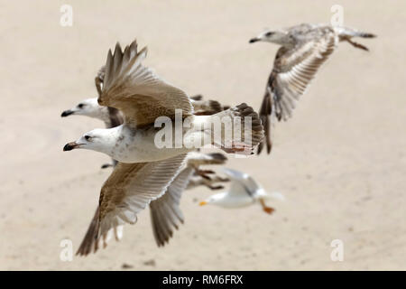 Just above the sandy beach a group of seagulls can be seen in a fast flight. This has been observed in Kolobrzeg, Poland. - Stock Image
