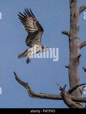 Osprey - Stock Image