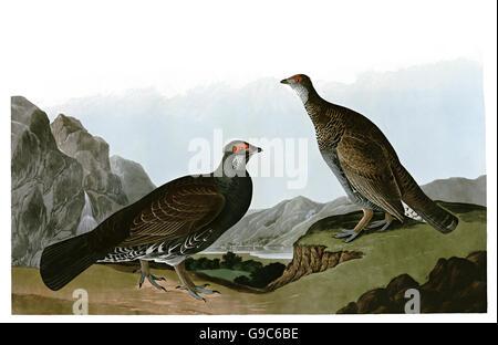 Blue Grouse, Dendragapus obscurus, birds, 1827 - 1838 - Stock Image