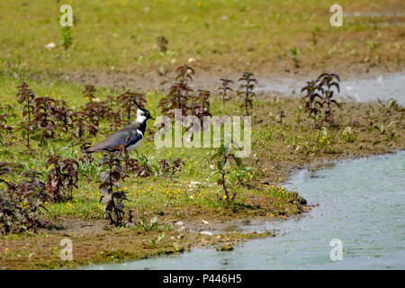 Reflection of a lapwing water bird - Stock Image