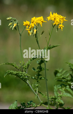 Wild Tomato (Solanum chilense), flowering stem. - Stock Image