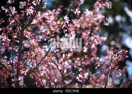 Cherry Blossom Paper - Stock Image