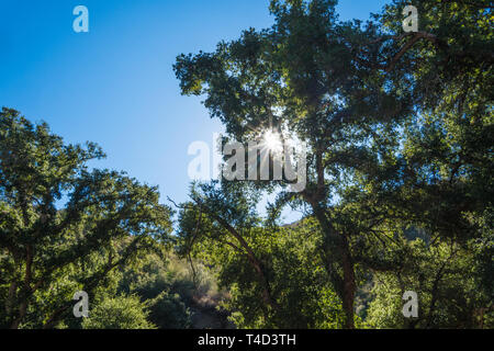 Sun light shines through tall tree branches and leaves. - Stock Image